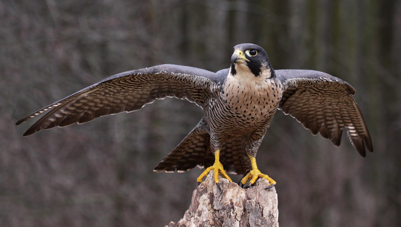 Prairie Falcon | Audubon Field Guide